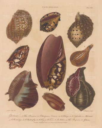 Globusae: Persian Crown, Harp, Helmut, Partridge, Butterfly, Fig, Tun, Melon and Prepuce mollusc shells. After Albertus Seba, engraved by John Pass.
