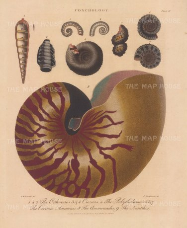 Nautilus: Nautilus, Orthoceros, Croziers, Polythalamus, Cornua Ammonis, and Ammonoides. After George Wolfgang Knorr, engraved by John Pass.
