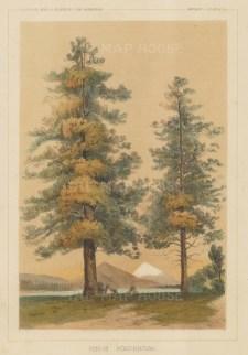 Pinus Ponderosa.