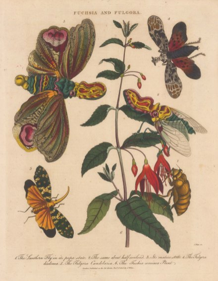 Lantern Fly (Fulgora): With the Planthopper (Fulgora diadema), Asian lantern bug (Fulgora candelaria) and a Fuchia plant.