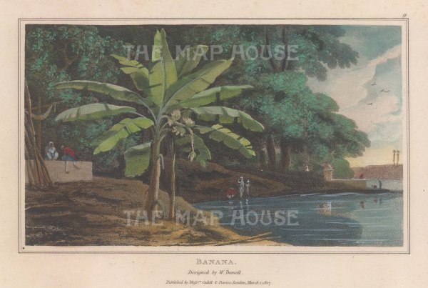 "Daniell: Banana Tree. 1807. A hand coloured original antique aquatint. 7"" x 4"". [NATHISp7868]"