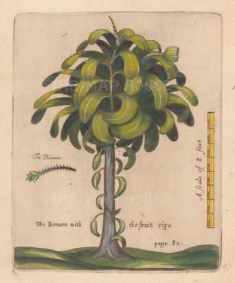 Banana Tree. Scarce. Banana with detail of blossom. From one of the earliest works on Barbados.