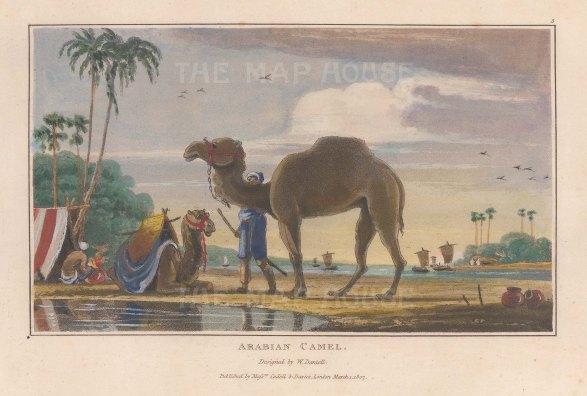 "Daniell: Arabian Camel. 1807. A hand coloured original antique aquatint. 7"" x 4"". [NATHISp7883]"