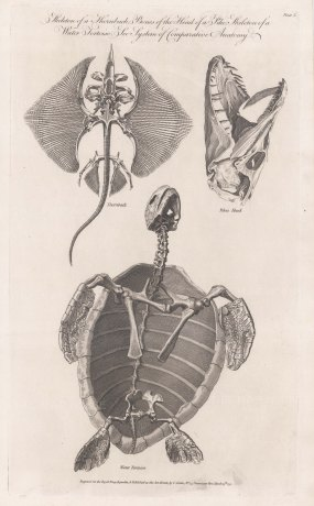 Comparative Anatomy: Skeleton of a Sea Tortoise, Thornback Ray and Pike's head.