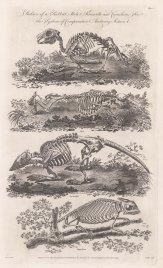 Comparative Anatomy: Skeleton of a Rabbit, Mole, Armadillo and Chameleon.