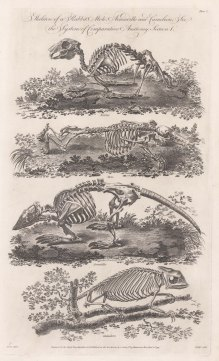 Comparative Anatomy: Skeleton of a Rabbit, Mole, Armadillo and Chameleon.