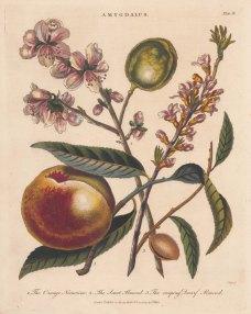 Nectarine and Almond: Orange Nectarine, Sweet Almond and Creeping Almond.