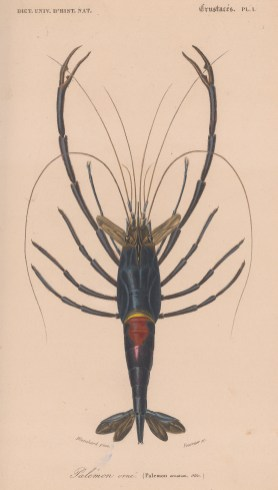 Crimson Crayfish. Palemon ornatum.