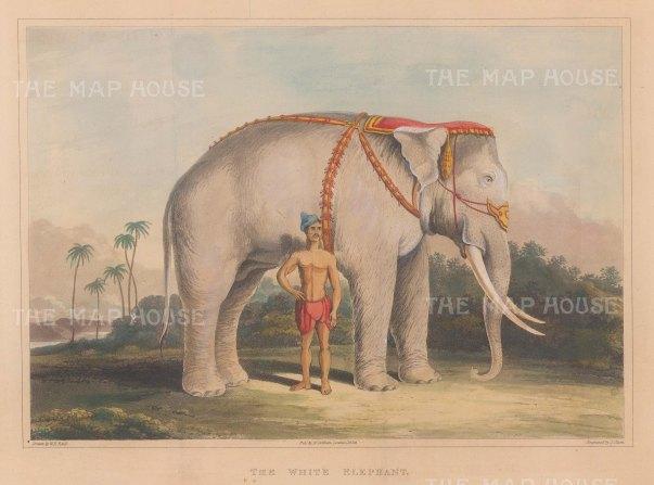 The Lord White Elephant of King Tharrawaddy Min at Amarapura.