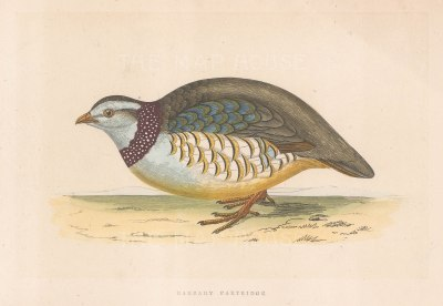 "Morris: Barbary Partridge. 1855. An original hand coloured antique lithograph. 8"" x 5"". [FIELDp1586]"