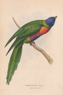 Swainson's Green lory. Trichoglossus Swainsonii.