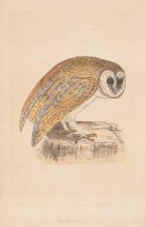 "Morris: White Owl. 1855. An original hand coloured antique lithograph. 5"" x 8"". [NATHISp7912]"