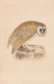 "Morris: White Owl. 1855. An original hand coloured antique lithograph. 5"" x 8"". [NATHISp7912]"