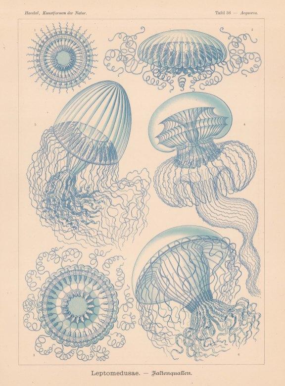 Jellyfish: 1. Acquorea discus, 2-3 & 5. Zygocanna diploconus, 4. Polycanna germanica, 6. Orchistoma elegans.
