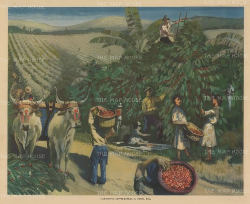 "Packham: Coffee Harvest, Costa Rica. c1940. An original vintage chromolithograph. 20"" x 16"". [CAMp226]"