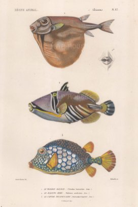 Pufferfish: Threetooth Puffer (Triodon bursarius), Lagoon Triggerfish (Balistes aculcatus) and Smooth Trunkfish (0stracion triqueter).