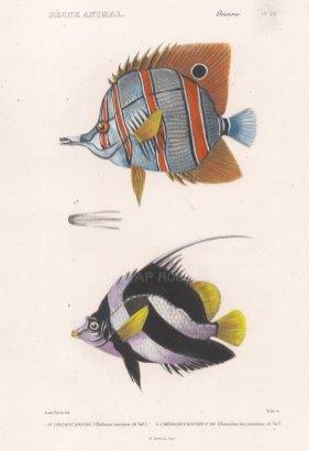 Butterflyfish: Copperband Butterflyfish (Chelmon rostratus) andThreeband pennantfish (Heniochus chrysostomus).