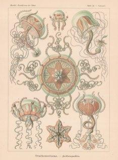 Jellyfish: 1-3 Carmaris Giltschi 4-6 Carmarina hastata and 7 Geryones elephas.