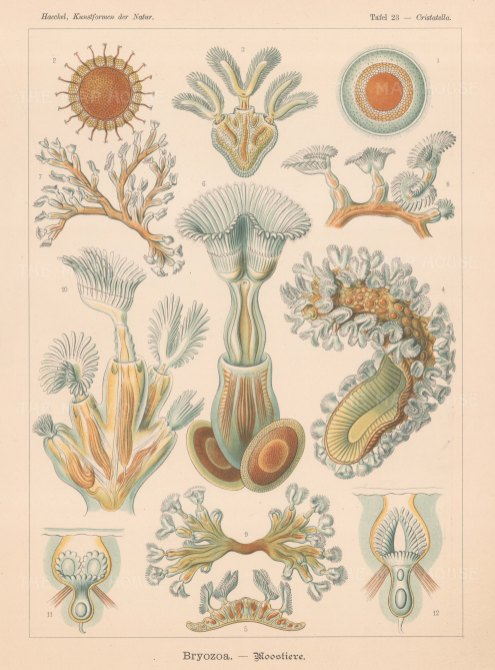 Bryozoa (Moss Animals): Moostiere 1-5 Cristatella mucedo, 6-8 Plumatella repens 7 alcyonella flabellum and 10-12 Lophopus crystallinus