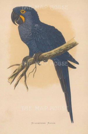 Hyacinthine Macaw. Iindigenous to South America.