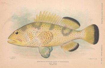 Epinephelus maculosus from the Bahamas.