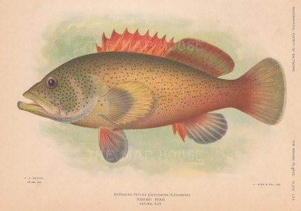 Bodianus fulvus punctatus from the Bahamas.