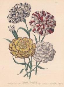 Dianthus: 1. Pictee Emmeline 2 Picotee Princess Frederick, 3 Bijon de Clement carnation 4 Prince de Nassau carnation