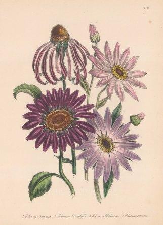 Echinacea: 1. Common purple Rudbeckle 2 Various leaved Echinacea 3 Dickon's Echinacea 4 Late flowering Purple Rudbeckle.