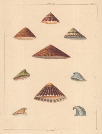 Univalves: Genus Patella: 1. Patella Radiata, 2. P. Rustica, 3. P. Coerulea, 4. P. Oblanga, 5. P. Adunca, 6. P. Cypridium, 7. P. Picta, 8 & 9. P. Patellae