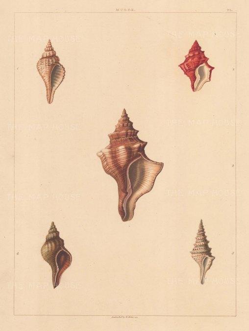 Univalves: Genus Murex, Pyrula & Pleurotoma: 1. Pyrula Undulata, 2. Murex Rubicunda, 3. Murex Lineata, 4. Pyrula Australasia, 5. Pleurotoma Acuta.