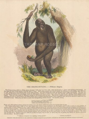 Pithecus Satyrus with descriptive text. Founded in 1698, the SPCK is the oldest Anglican mission and publishing house of the Church of England.