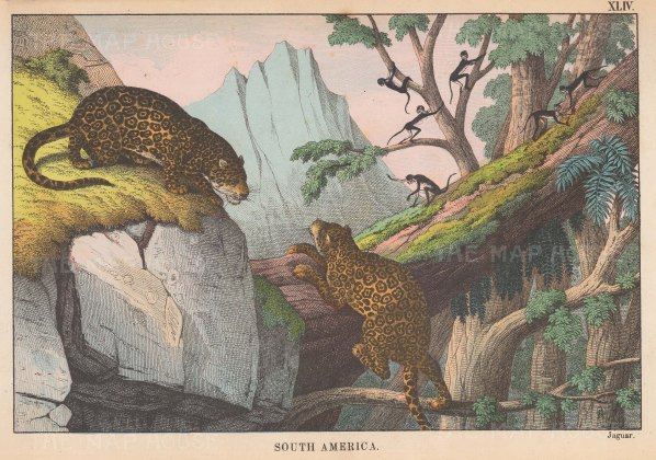 "Edmonston: Jaguar. 1862. An original antique chromolithograph. 10"" x 7"". [NATHISp7096]"