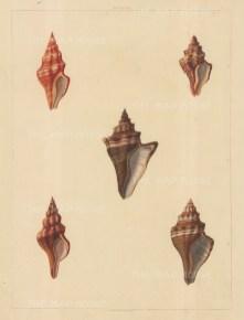 Univalves: Genus Murex: 1. Murex Aurantia, 2. M. Lignarius 3. M. Trapezium 4. M. Bandatus 5. M. Bandarius.