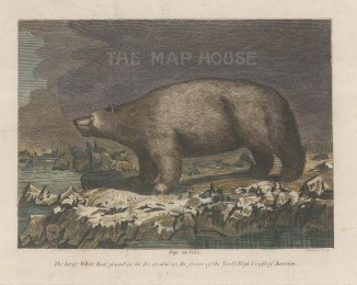"Bankes: Polar Bear. 1780. A hand coloured original antique copper engraving. 8"" x 7"". [NATHISp7443]"