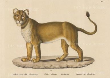 Barbary Lioness. Felis Leoena barbarica. Framed.