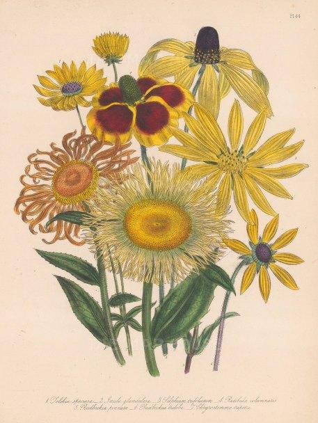 Telekia: 1. Showy Teleckle 2. Glandulous Elecampane 3. Silphium trifoliatum 4. Ratibida columnaris 5. Pinnated Rudbeckle 6.Three lobed Rudbeckle 7.Tripartite leaved Golden Crown