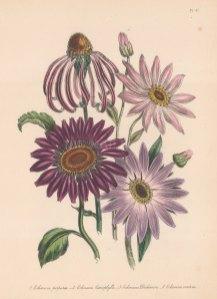 Echinacea: 1. Common purple Rudbeckle 2. Various leaved Echinacea 3 . Dickon's Echinacea 4. Late flowering Purple Rudbeckle.