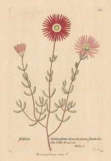 Marigold: Glittering Fig Marigold. Mesembryanthemum micans