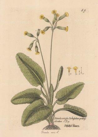 Cowslip: Common Cowslip. Primula ver