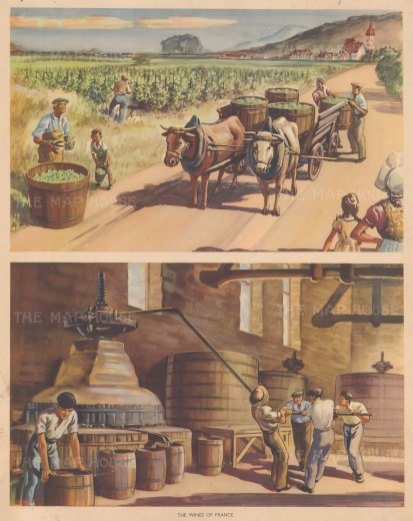 "Packham: Wine Making. c1940. An original vintage chromolithograph. 19"" x 15"". [FRp1656]"