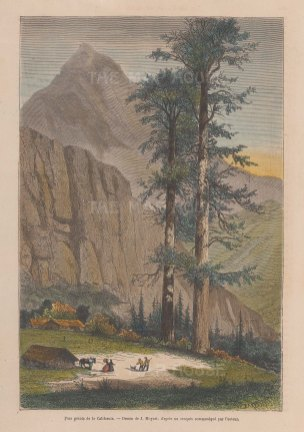 "Garnier: Sequoia Trees, Yosemite. 1876. A hand coloured original antique wood engraving. 6"" x 9"". [USAp5020]"