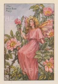 "Barker: Wild Rose Fairy. c1925. An original vintage chromolithograph. 3"" x 4"". [DECp2104]"