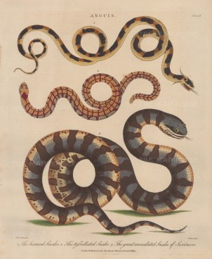 Snake (Anguis): The Horned Snake,Tessellated snake, and Great Annulated Snake of Surinam. After Albertus Seba. Engraved by John Pass.