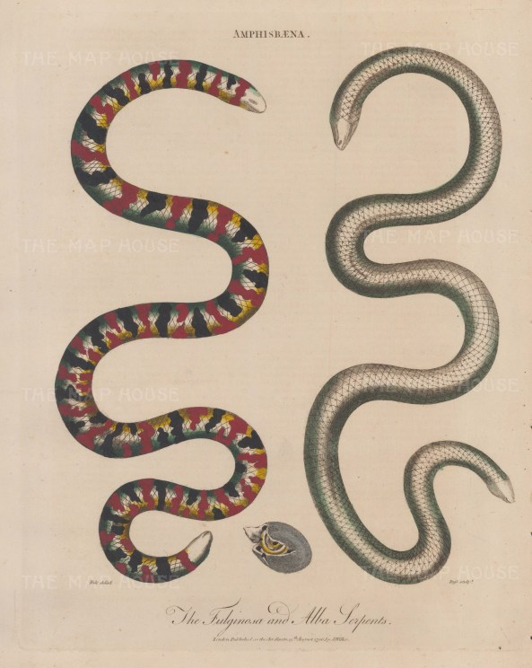 Serpents (Amphisbaena): Fulginosea and Alba serpents. After Max Uhle. Engraved by John Pass.