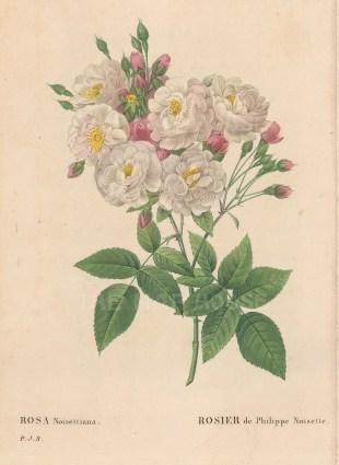 Rose: Blush Noisette Rose. Rosa Noisettiana