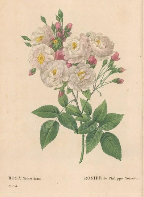 Blush Noisette Rose. Rosa Noisettiana