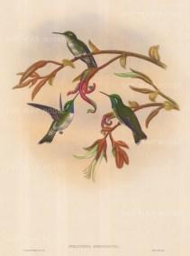 "Gould: Hummingbird. 1887. An original hand coloured antique lithograph. 13"" x 19"". [NATHISp6644]"