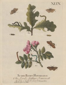 Caterpillars: With chrysalis and moths on an Oak Tree and Wild Rose. Dedicated to Lord Somerset.