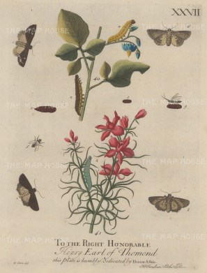 Caterpillars:One on the Woody Nightshade and the other on the Larkspur with chrysalises, flies and moths. Dedicated to the Earl of Thomond