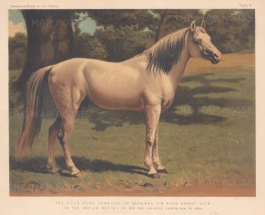 Arab Pony Charger of General Sir Hope Grant. In the Indian Mutiny of 1859 & Chinese Campaign.